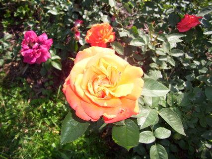 FOTKA - Několik růží