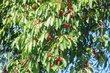 Červené třešínky