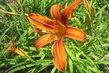 oranž. květ denivky