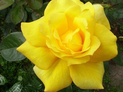 FOTKA - Krasavice žlutá