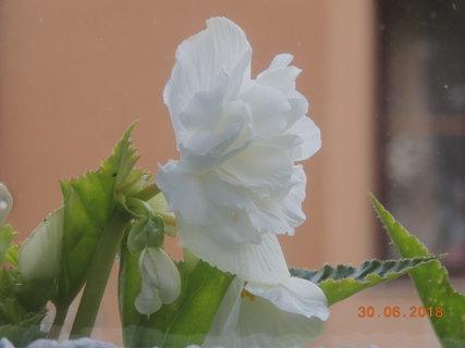 FOTKA - Begonka - plnokvětá bílá