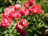 Další květy polyantky (16.7.)