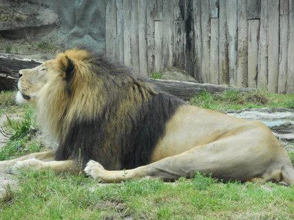 FOTKA - Lev při odpolední siestě