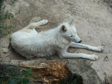FOTKA - Vlk bílý