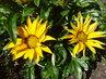 gazánie žluté na slunku