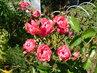 Polyantky mají spoustu nových květů a poupat (13.8.)