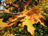 Dub v podzimních barvách (8.10.)