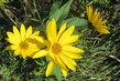 žluté květy u lesa