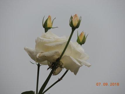 """FOTKA - Růže """"Pascali"""" - květ s poupaty"""