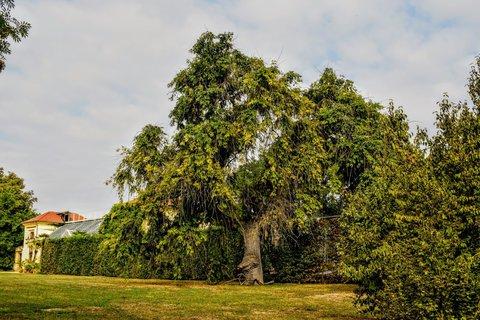 FOTKA - Mohutný strom v zámecké zahradě- Libochovice