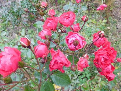 FOTKA - Polyantky kvetou i v říjnu (2.10.)