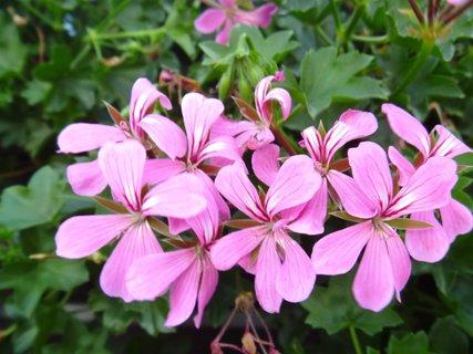 FOTKA - jednoduchý růžový