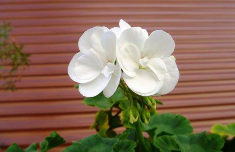 FOTKA - muškát bílý