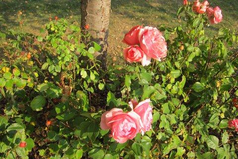 FOTKA - Podzim na sídlišti - poslední růže