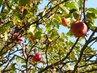 červená jablíčka..v říjnu u naší chaloupky