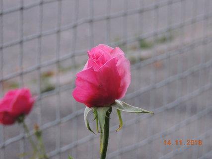 """FOTKA - Růže """"Morava"""" má stále květy"""