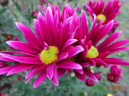 FOTKA - Kopretinová fialověčervená