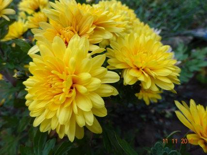FOTKA - Žlutá - středně velký květ