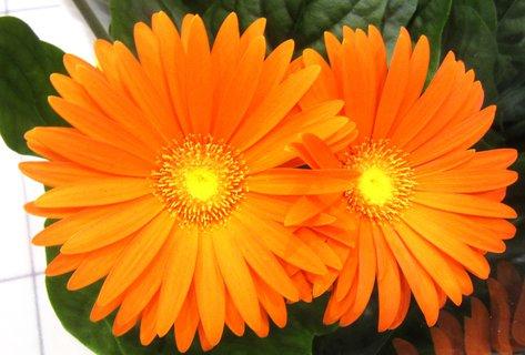 FOTKA - dva oranž.květy gerber