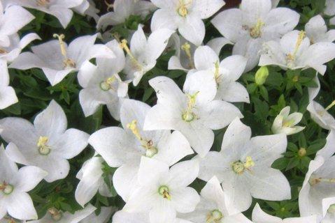 FOTKA - bílé zvonky v květináčku