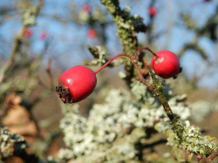 FOTKA - Barevné plody dřevin - Hloh