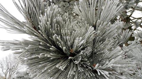 FOTKA - zamrzlá vejmutovka