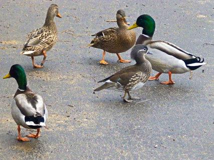 FOTKA - Jsou všechny kačenky stejné nebo je tu návštěva?