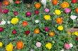 Z Výstaviště -  Pestrobarevný koberec