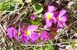 jarní vycházka v Chřibech..prvosenka u chatičky