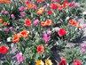 Hodně tulipánů
