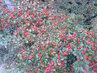 červený kobereček,bobulky