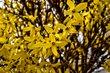 Detail zlatého deště