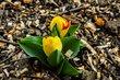 Tuli, tuli, tulipán