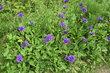 fialové letní květy