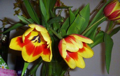 FOTKA - tulipánky ještě nezvadly
