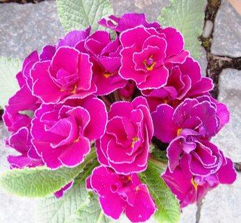 FOTKA - hezká růžová, plnokvětá