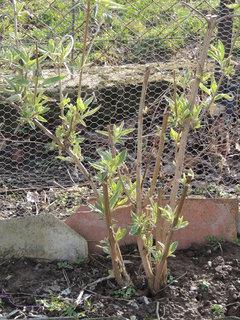 FOTKA - Začíná se zelenat - motýlí keř