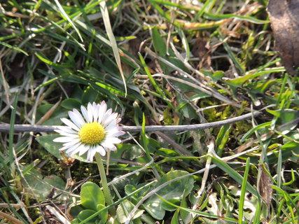 FOTKA - Sedmikráska v trávě 17.3.