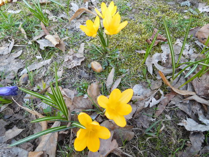 FOTKA - Několik žlutých ...(21.3.)