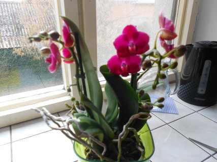 FOTKA - orchidej s dvěma květy