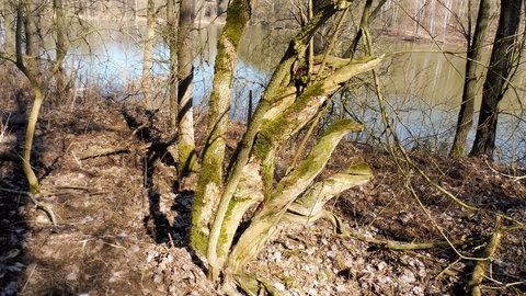 FOTKA - ..stromy u rybníka..