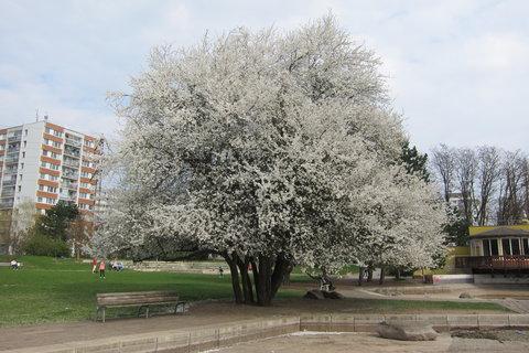 FOTKA - Z dnešní procházky - Jeden z mnoha rozkvetlých stromů
