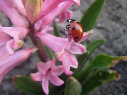 FOTKA - na malom hyacinte