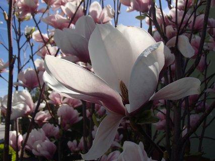 FOTKA - jeden z kvetov magnólie