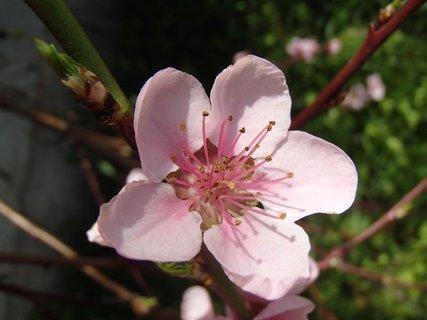 FOTKA - osamelý ružový kvietok