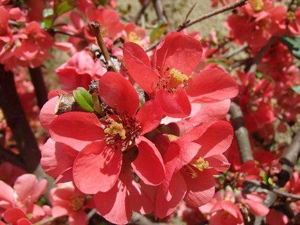 FOTKA - krík v plnom kvete