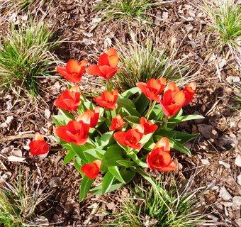 FOTKA - tulipány v Kroměříži