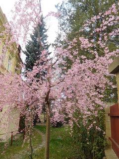 FOTKA - Stromek se světle růžovou korunkou (8.4.)
