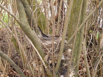 FOTKA - Hnízdo v šeříkovém keři u našeho domu (8.4.)