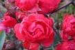 podzimní růžičky
